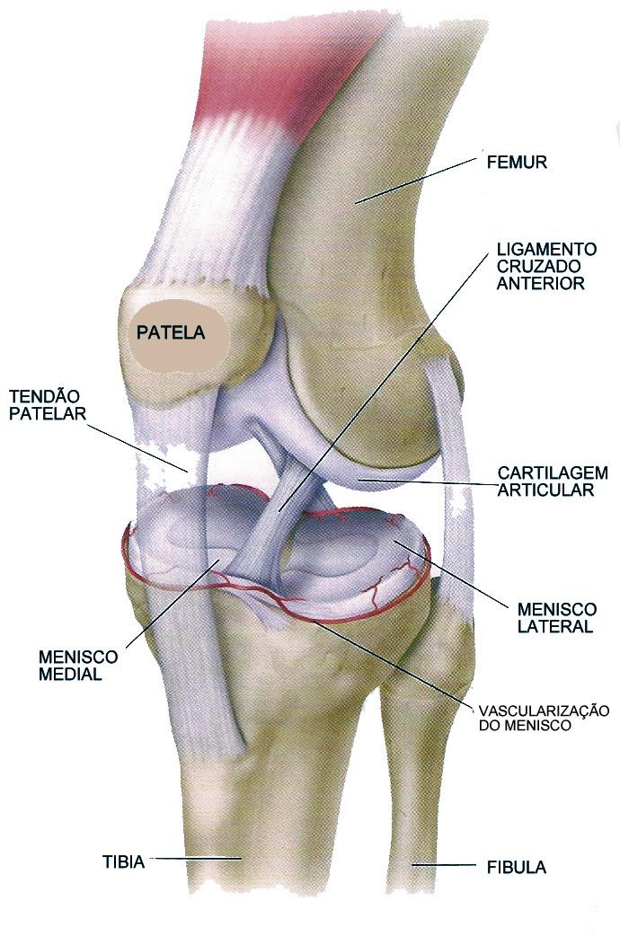 Les o do menisco ossos do of cio for Esterno e um osso irregular